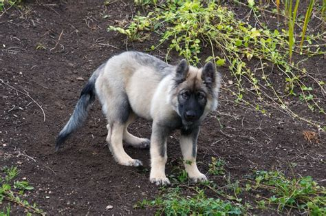 american alsatian puppies for sale american alsatian puppys and dogs on