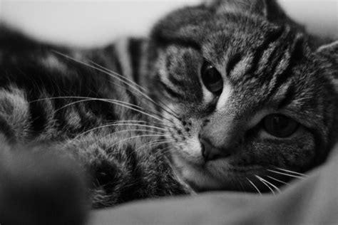 imagenes en blanco y negro gato gato en blanco y negro 64595