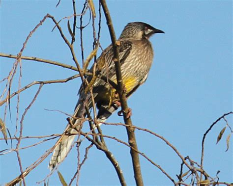 australian native birds the red wattle bird the little
