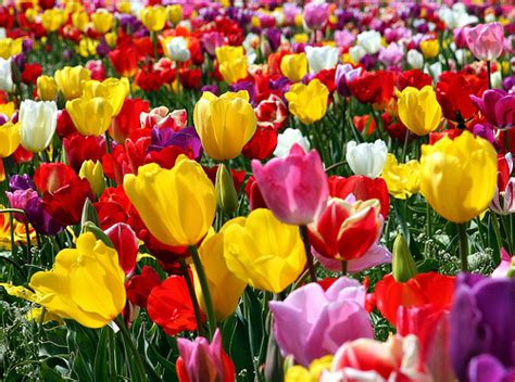 Homer Tulips Variety Flickr Photo Sharing