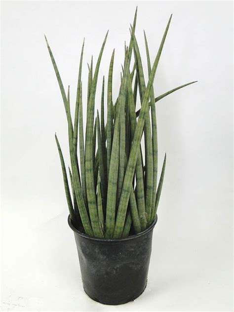 image gallery sansevieria cylindrica