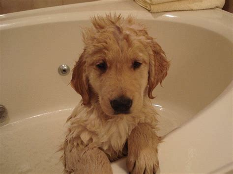 how to bathe a golden retriever golden retriever puppy has a bath is puppies