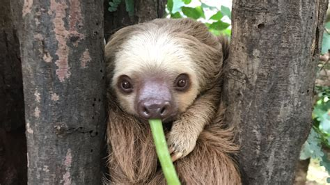 sloth going to the bathroom best place to see sloths in costa rica diamante eco