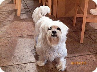 shih tzu and maltese difference 1000 images about adopt don t buy on calico cats cats and chihuahua dogs