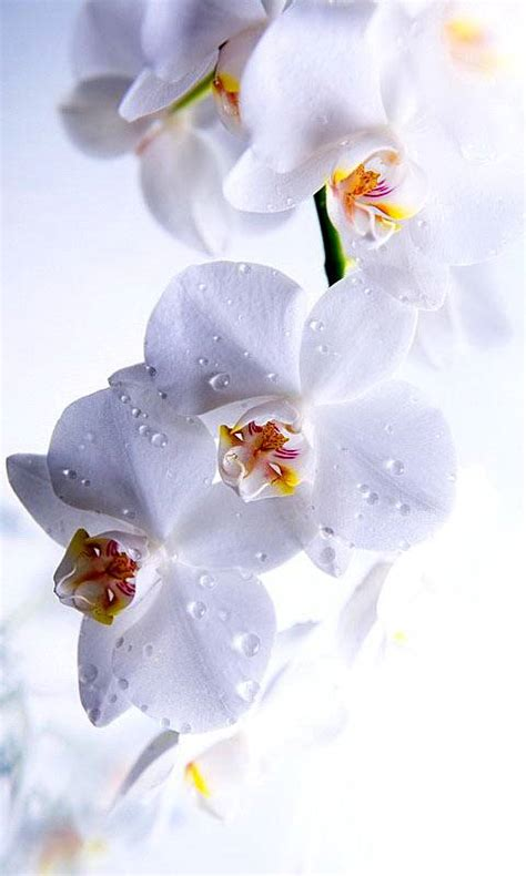 white orchid wallpaper      zedge