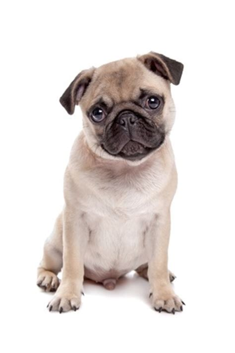 pug insurance breeds revealing your location argos pet insurance