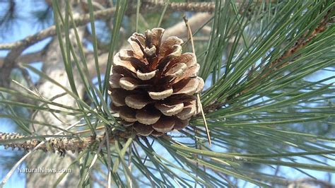 pinecone tree did you know pine trees can be used as food medicine and