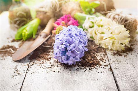 bulbi di giacinto in vaso tutti i consigli per avere dei bellissimi giacinti fito