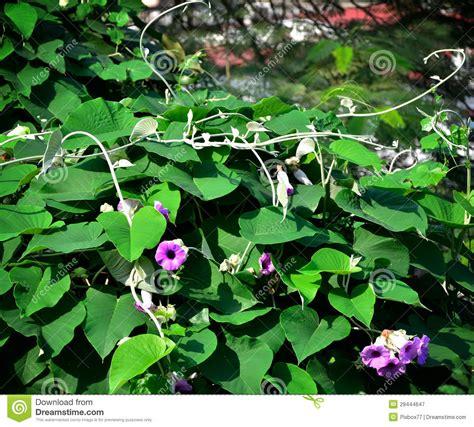 edera fiore fiore dell edera sulla tettoia fotografia stock libera da