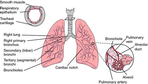 lungs definition location anatomy function diagram bird breeder s lung definition of bird breeder s lung by