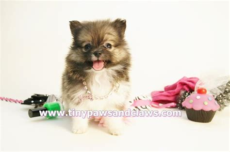teacup teddy pomeranian puppies for sale