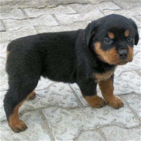 how much is a rottweiler puppy german rottweiler puppies 4 sale pets nigeria