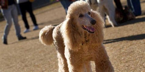 az adoptions arizona poodle rescue saving standards and standard design bild