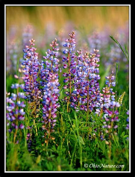 lupine color nobody but me i left my in yosemite