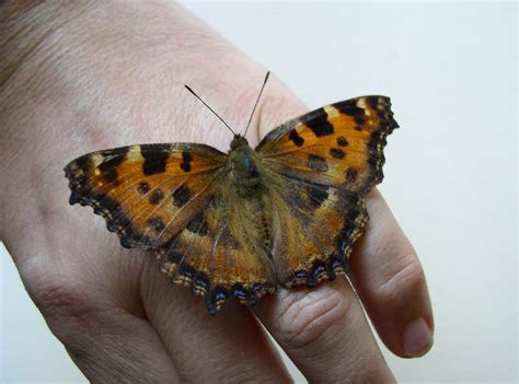 Lu Alis Vario le farfalle diurne parco regionale di montevecchia e