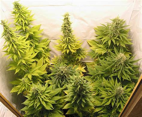 beautiful pictures  marijuana plants growing