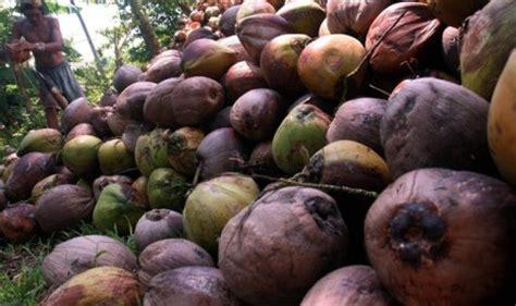 Minyak Kelapa Di Pasar ceko ekspor 36 ton tepung kelapa asal sulawesi utara