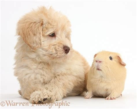 Pets: Cute Toy Goldendoodle puppy and Guinea pig photo WP38285