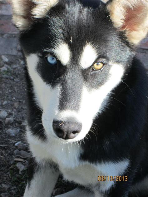 husky with different colored the gallery for gt husky puppy with different colored