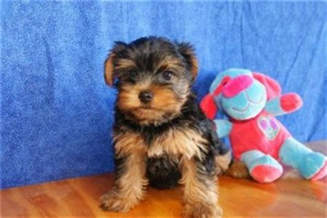 teacup yorkie for sale in va pets charlottesville va free classified ads