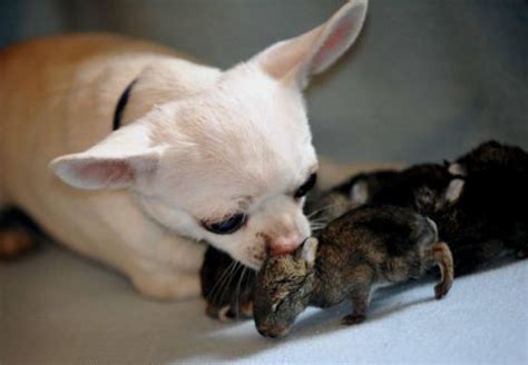 chihuahua fosters abandoned baby rabbits life with dogs