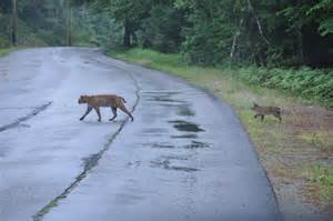 Backyards For Dogs by Bobcat In The Backyard Nh Wildcat Responding To