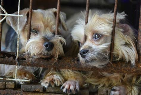 chicago puppy store chicago bans puppy mill sales in pet stores report canada journal news of the world