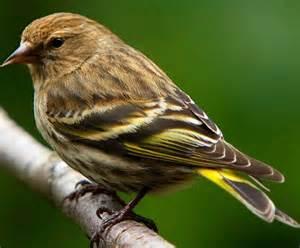 pine siskin bird list pinterest