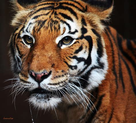 Indochinese Tiger by Innocentium on DeviantArt