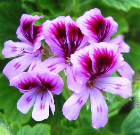 Geranium by Young Living Angel