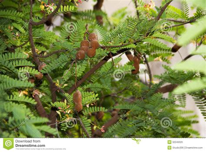 tamarind tree fruit tamarind tree stock photo image 32249320