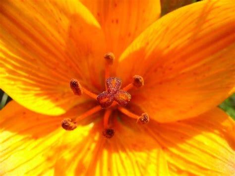 giglio fiore significato significato giglio 2 significato dei fiori significato