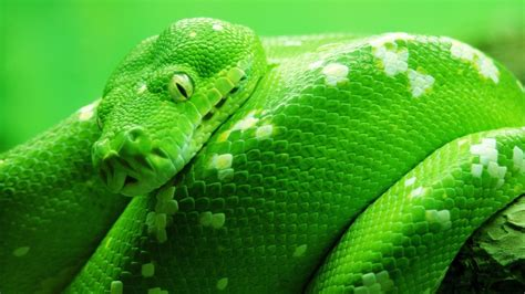 wallpaper green snake green snake wallpaper 9664