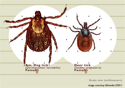 deer tick vs tick size compare tick vs deer tick flickr photo