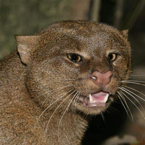 species profile: jaguarundi (puma yaguarondi) | rainforest