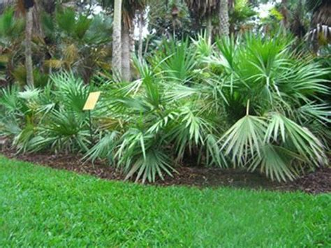 piante palme da giardino palma nana piante da giardino palma nana