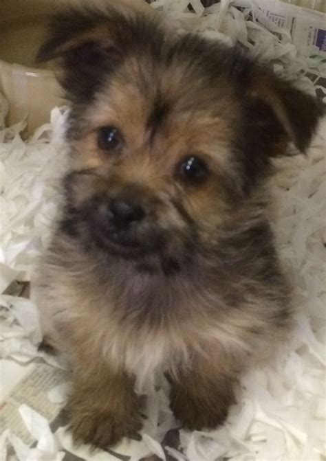 pomeranian and yorkie mix puppies yorkie pom puppies for sale in west pets4homes