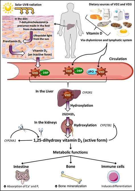 Vitamin Metabolisme basic metabolism of vitamin d in humans cholesterol from