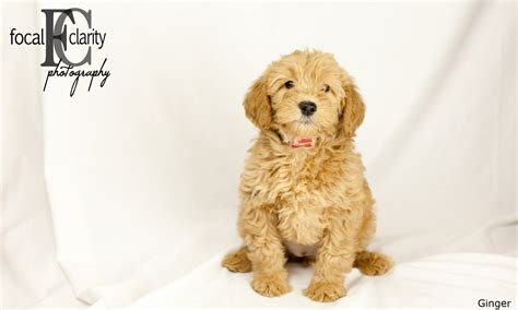 ginger doodle apricot fleecy labradoodle ginger trail s end