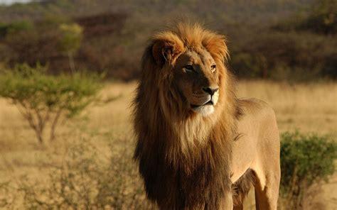 imagenes de leones en movimiento le 243 n salvaje 1680x1050 fondos de pantalla y wallpapers