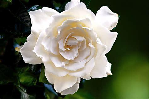 gardenias xiangxin