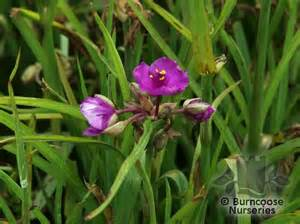 Red Spider Flower - tradescantia from burncoose nurseries