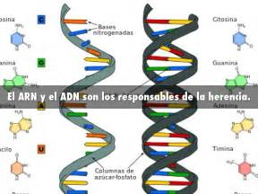 cantidad de cadenas del adn adn by misael guzman