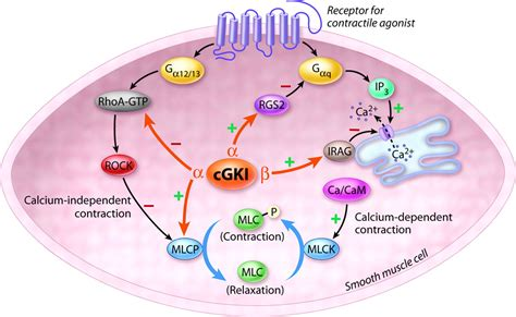protein kinase g cgmp dependent protein kinase i and smooth