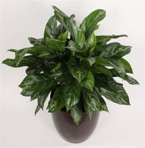 Houseplants For Low Light Areas by Aglaonema Moonlight Bay 10 Quot Farm Life Tropical Foliage