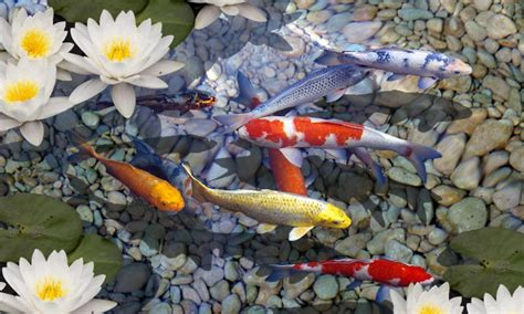 koi free live wallpaper full version for pc download 3d fish pond live wallpaper for android 3d fish