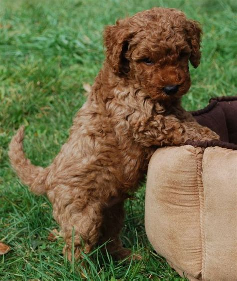 mini labradoodles for sale in ohio the world s catalog of ideas