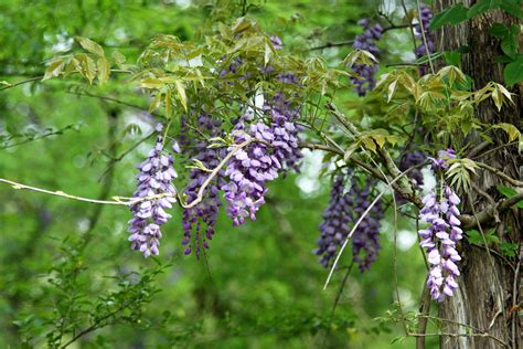 southern lagniappe wisteria along the natchez trace