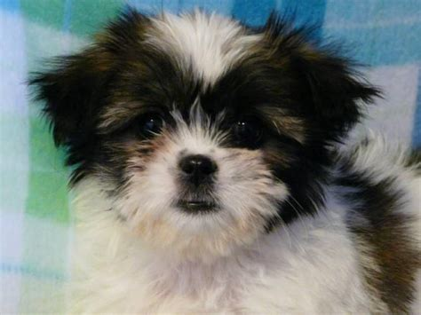 havanese shih tzu puppies havanese shih tzu puppies for sale alberta