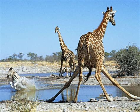 imagenes de jirafas y zebras jirafas y cebras im 225 genes y fotos